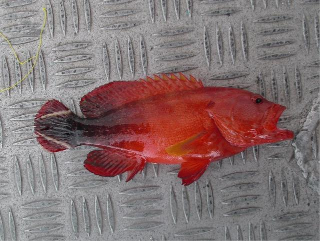 white barred black tailed red snapping cod